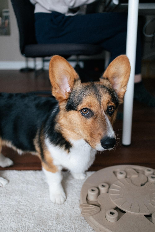 brown white and black corgi puppy