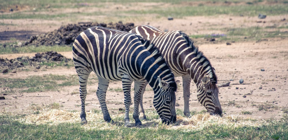 See zebras at the Taronga Western Plains Zoo