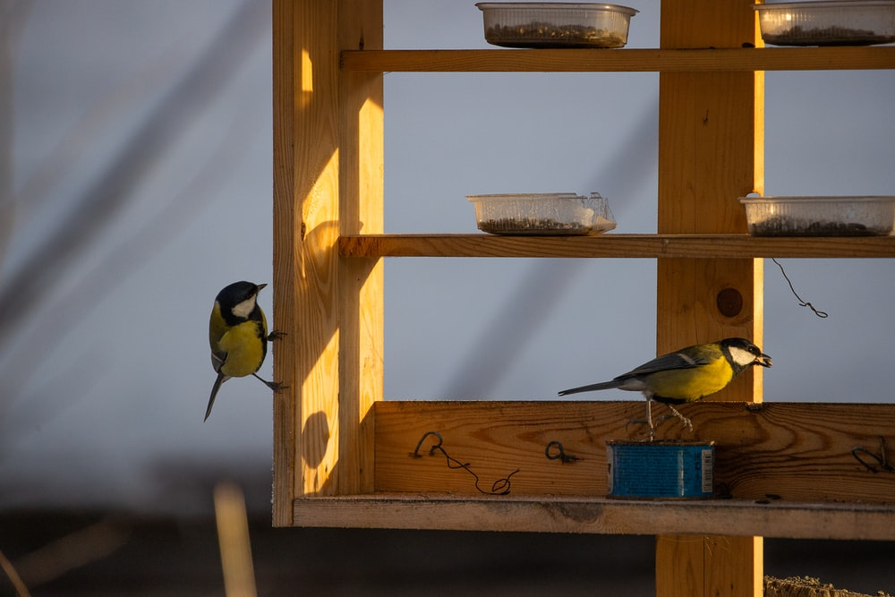 2 yellow and black birds on brown wooden shelf