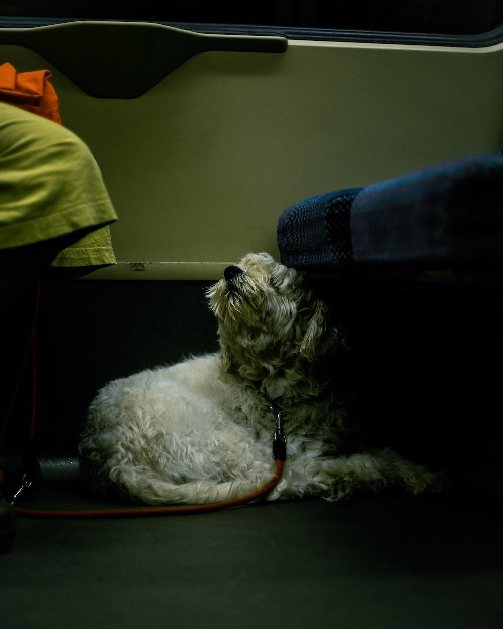white long coated small sized dog