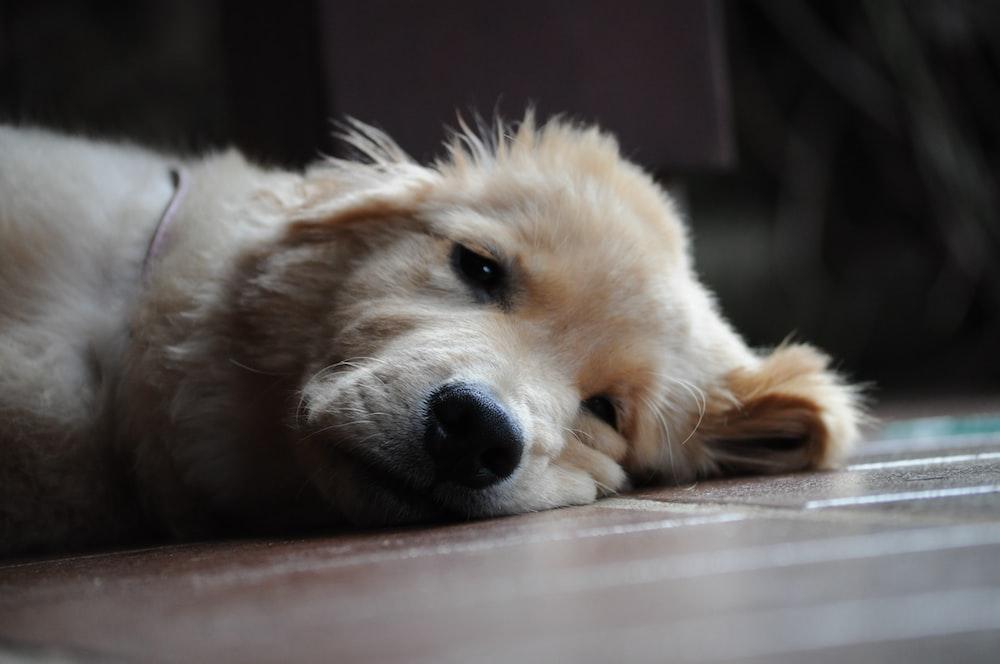 white long coated dog lying on floor