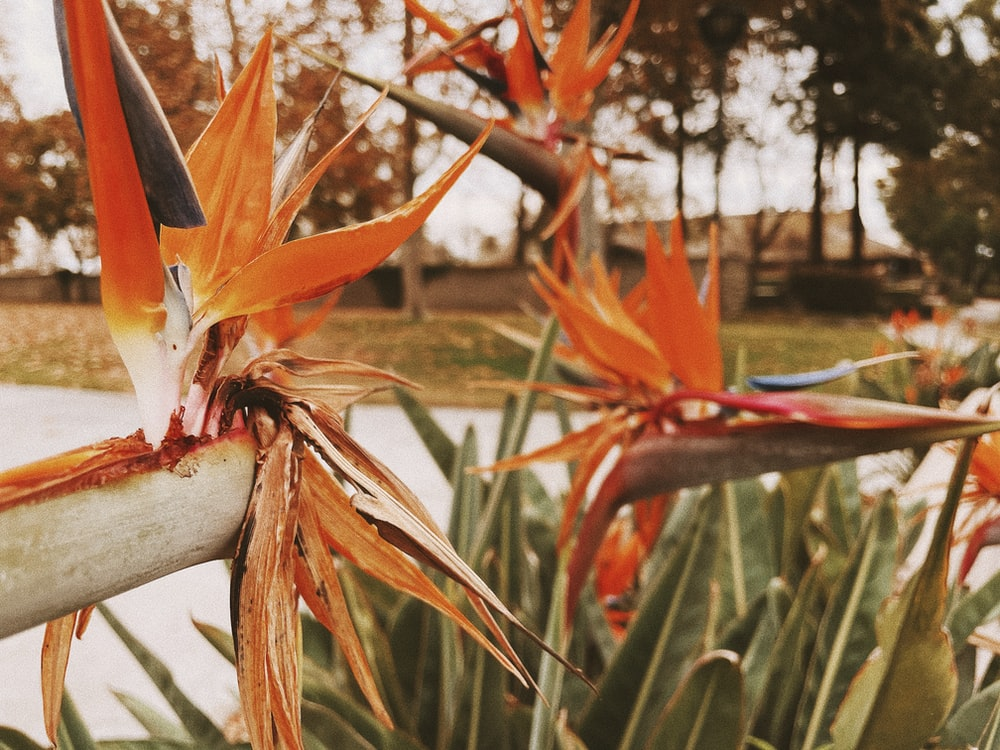 orange and white birds of paradise flower