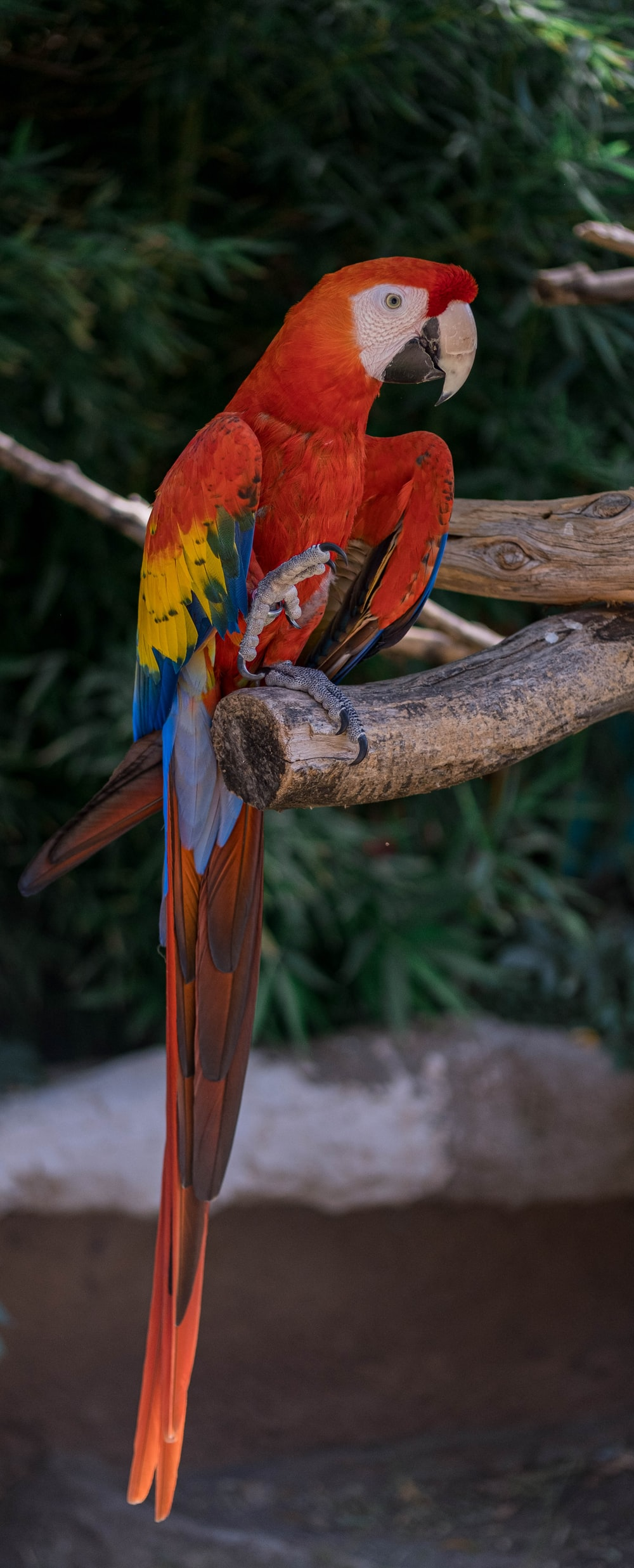 red yellow and blue parrot on brown tree branch