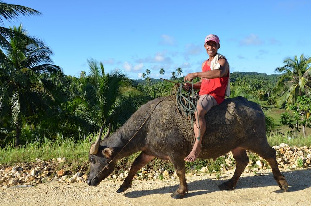 man in red shirt riding black water buffalo during daytime