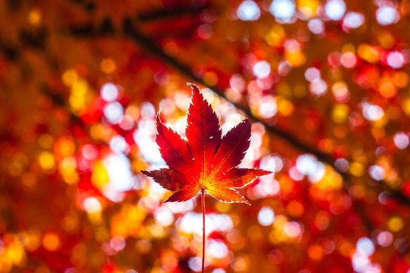 秋姿 楓紅 奧萬大
