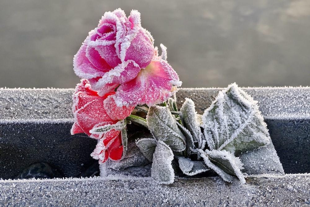 pink rose in black pot