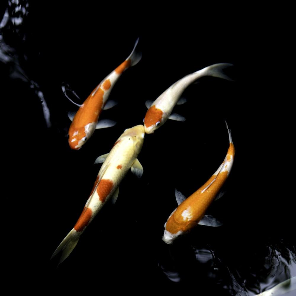 orange and white koi fish