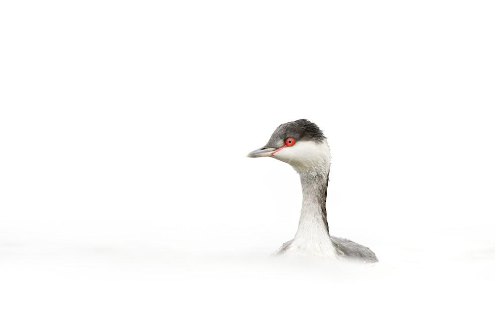 white swan on white background