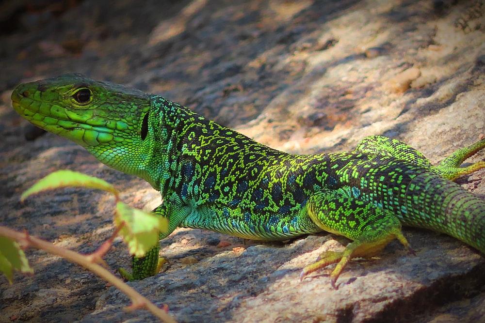 green and black lizard on brown rock