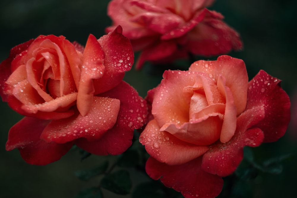 red rose in bloom with dew drops