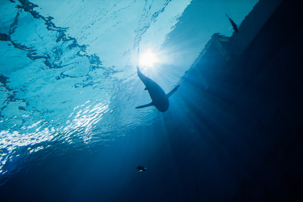 black and white shark in water