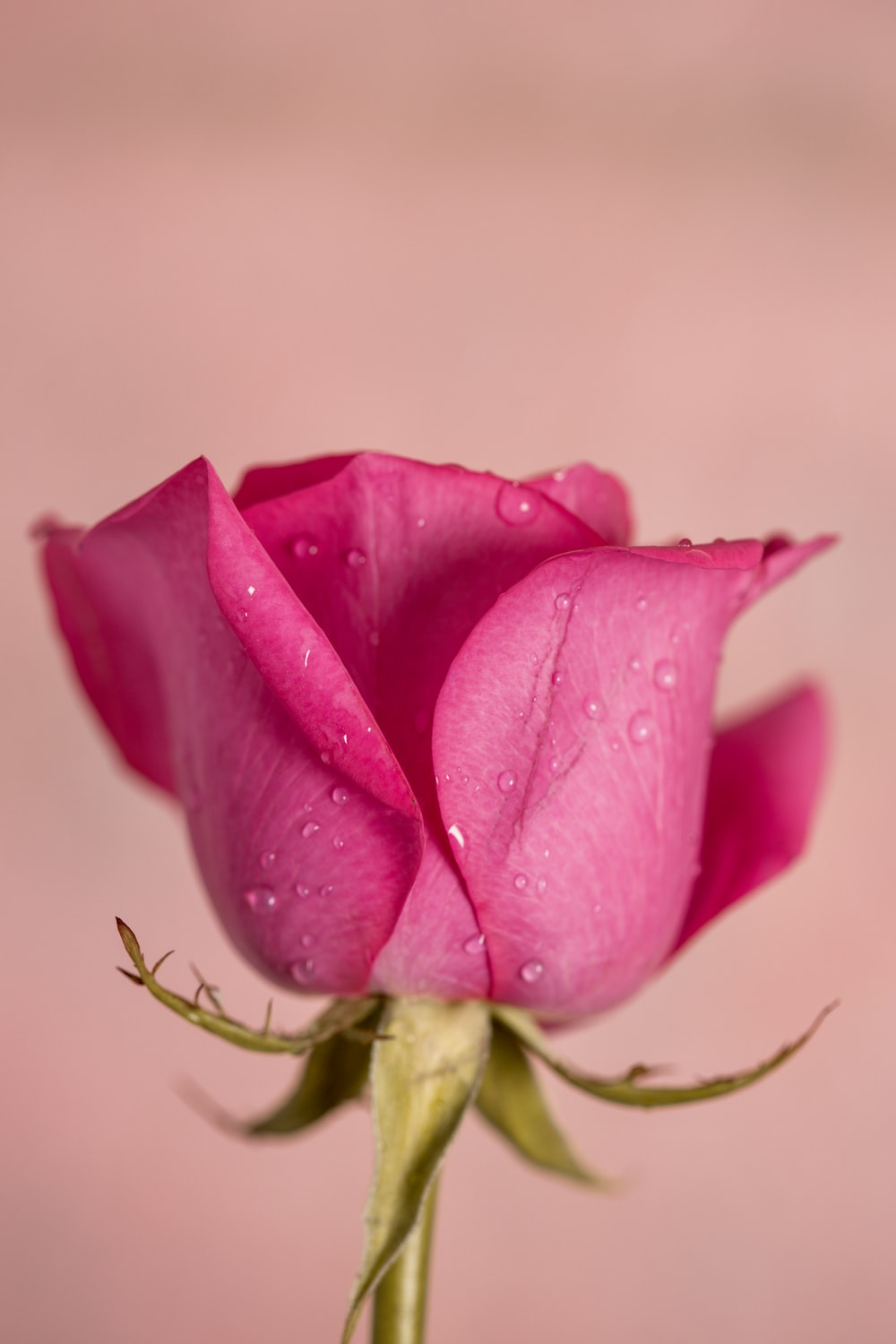 pink rose in bloom close up photo