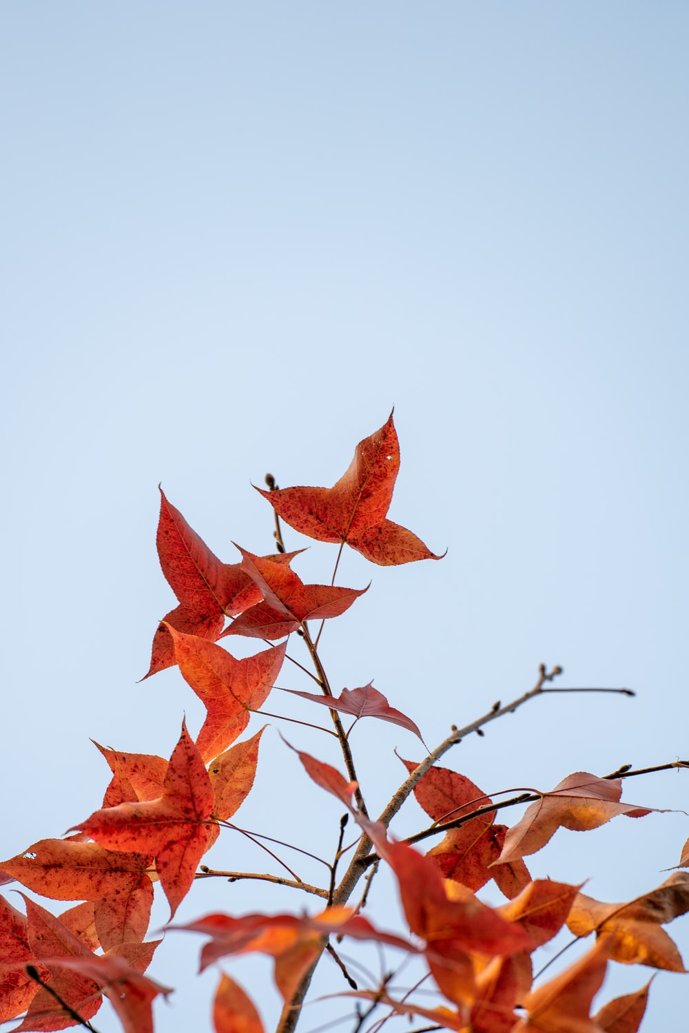 red maple leaf on brown tree branch
