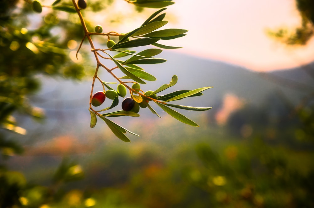 green plant with red round fruits