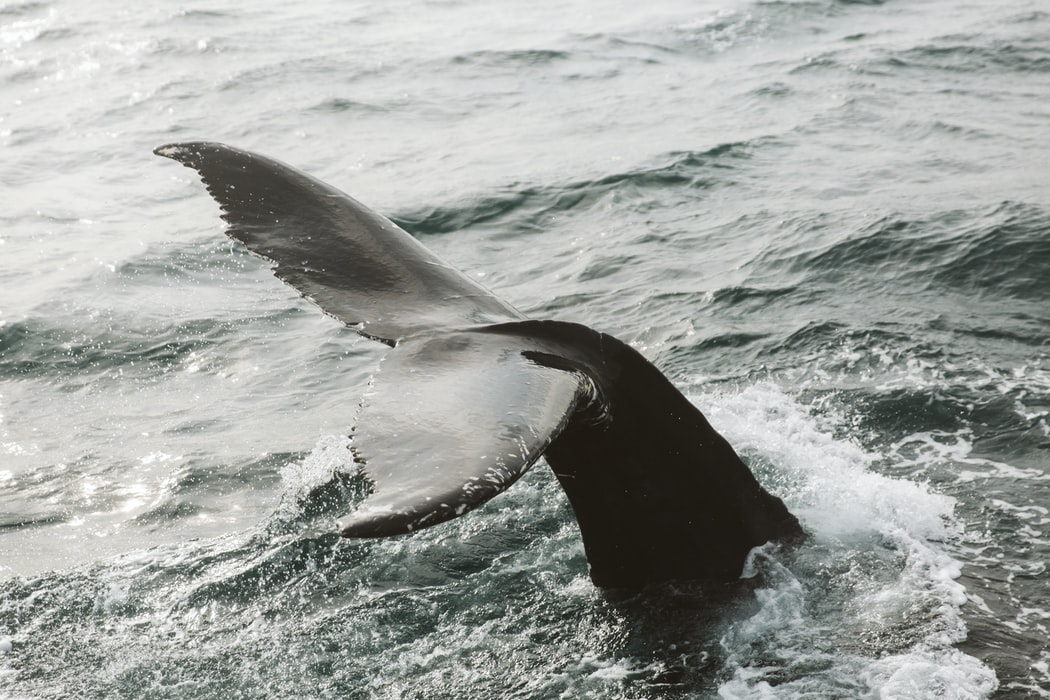 Whale watching from a boat, 10 things to do in Akureyri