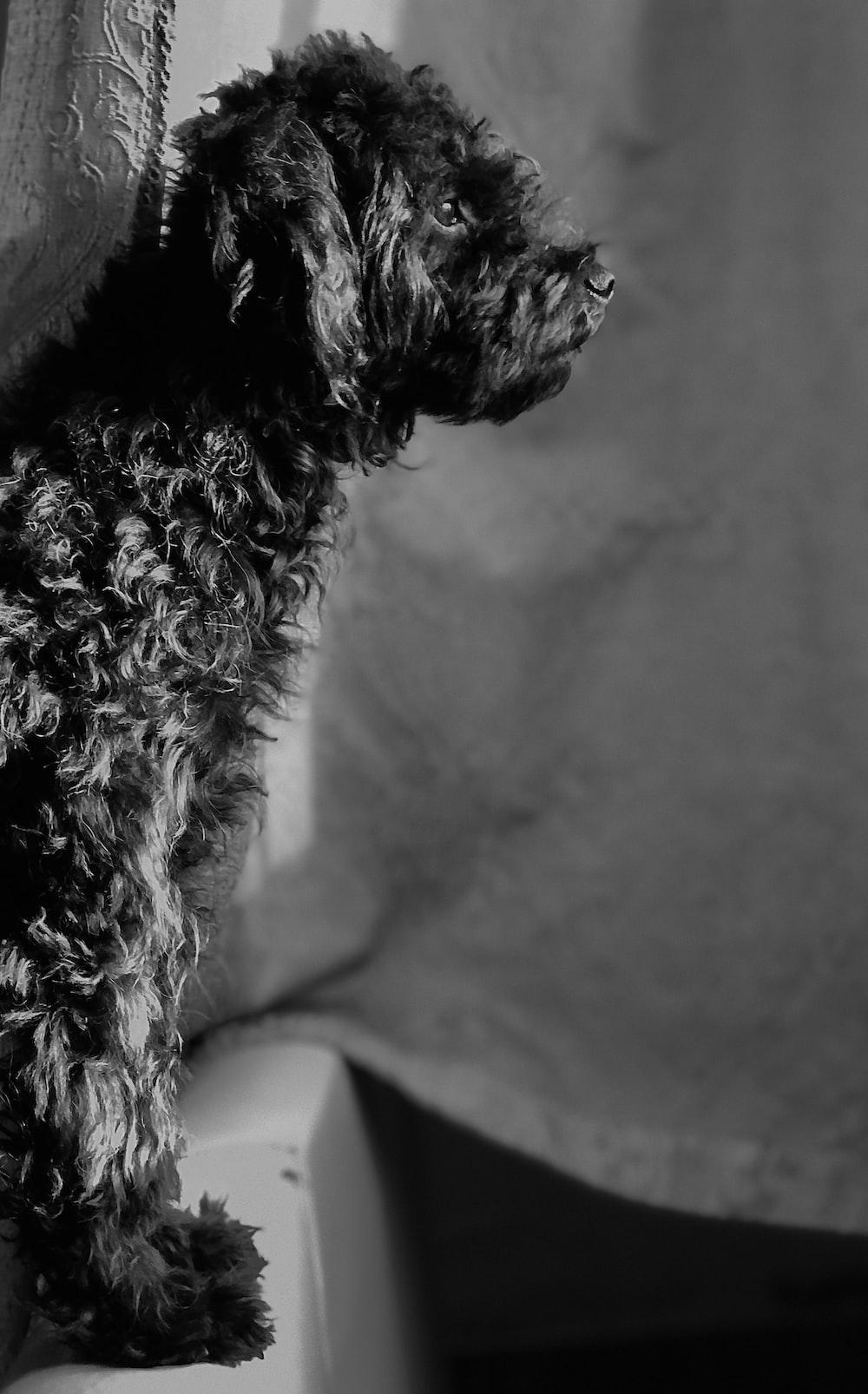 black and white long coat small dog