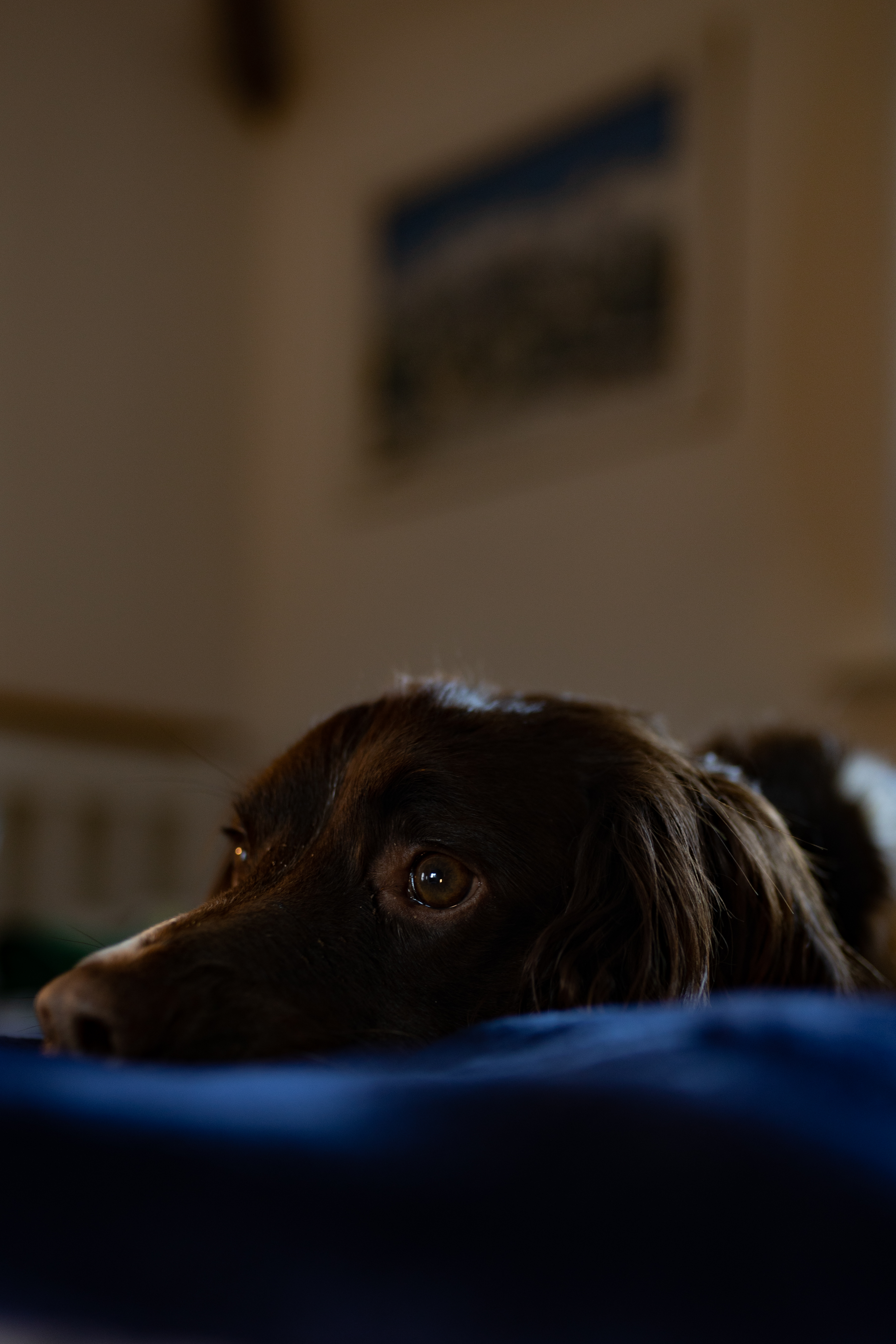doggo no. 13. Curled up in bed, whilst waiting for a walk to occur. I take more than just photos of my dog: Instagram: Indeep_photography