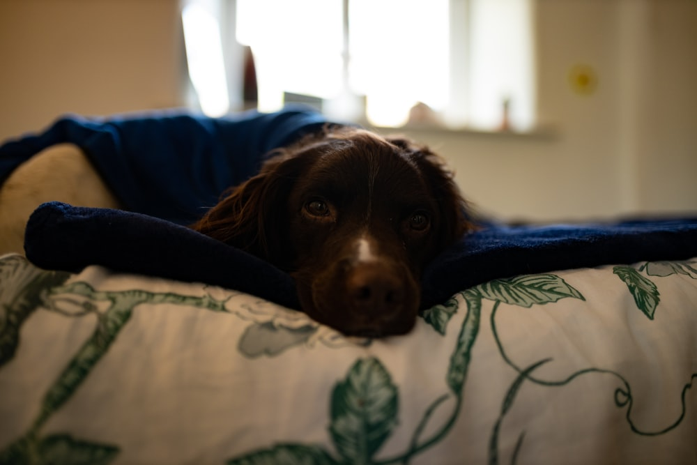 brown and white short coated dog lying on blue and white textile