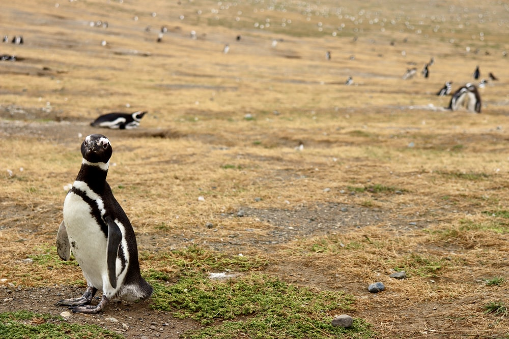 black and white penguin on green grass field during daytime