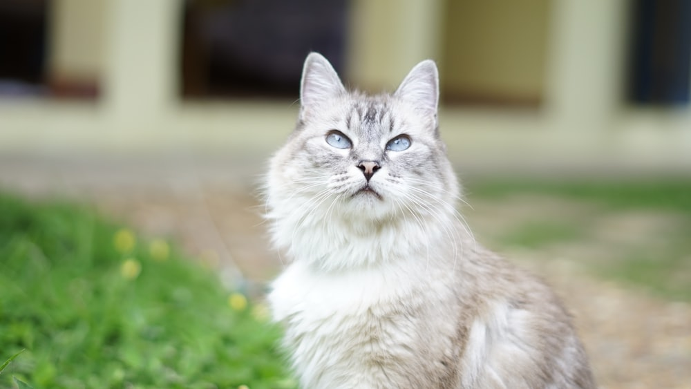 white and gray cat on green grass during daytime