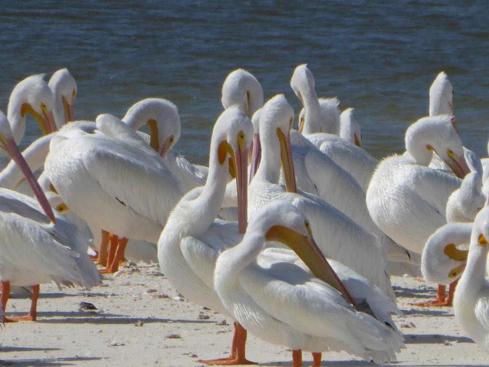 flock of pelicans on shore during daytime