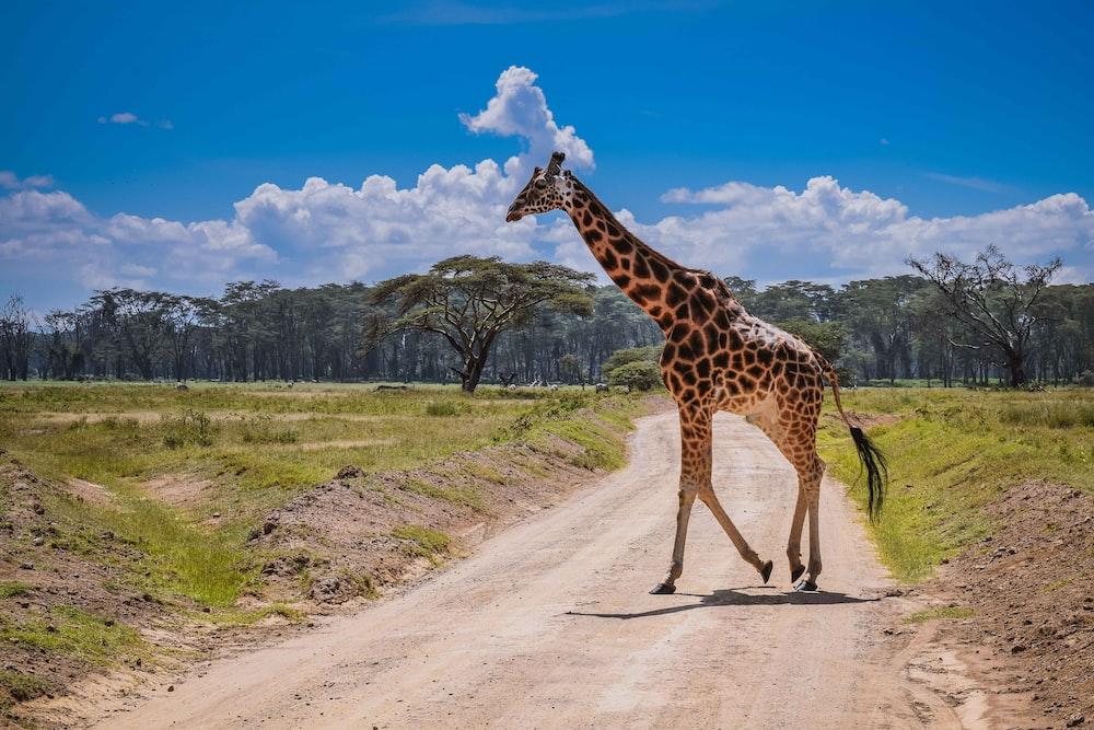 giraffe walking on dirt road during daytime