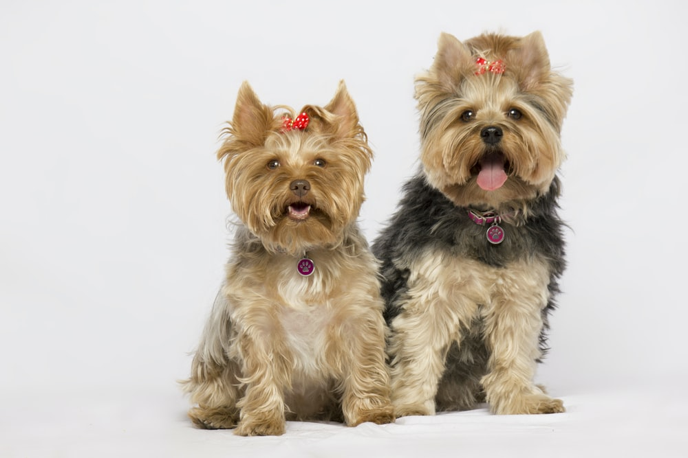 black and brown yorkshire terrier