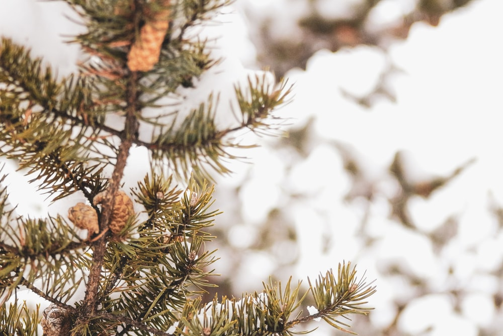 brown pine cone on green pine tree