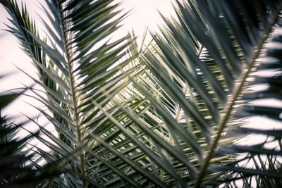green palm tree under blue sky during daytime palm sunday zoom background