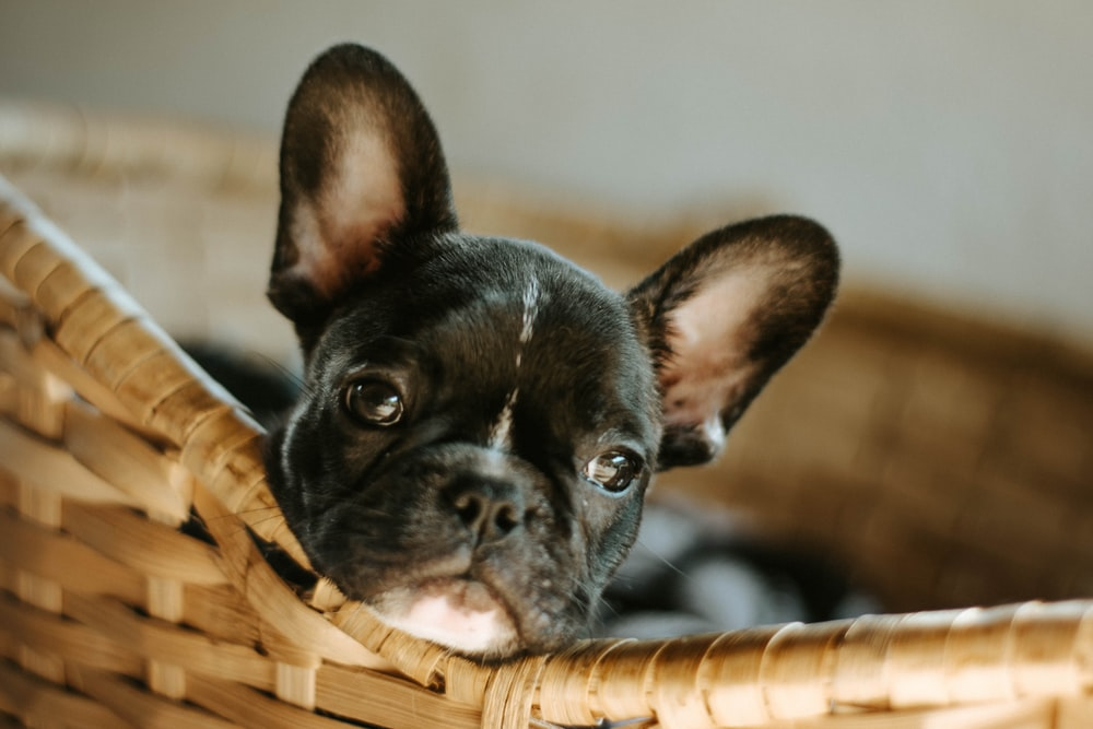 black french bulldog puppy in brown woven basket