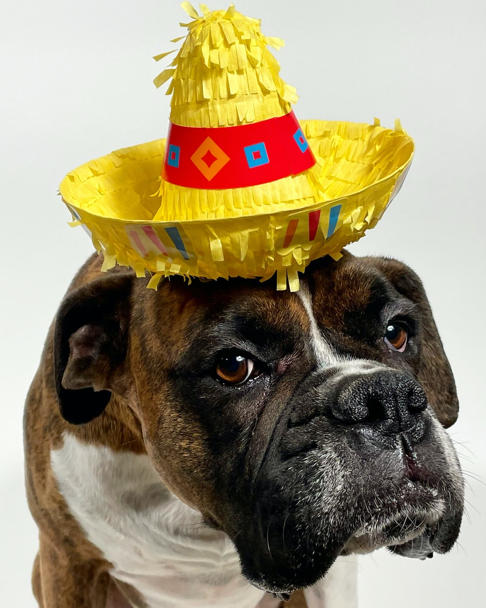 brown and white short coated dog with yellow hat