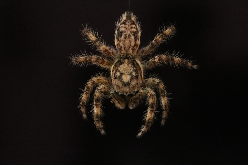 brown and black spider on black background