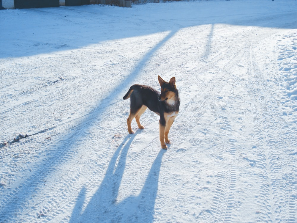 black and tan short coat medium dog running on snow covered ground during daytime