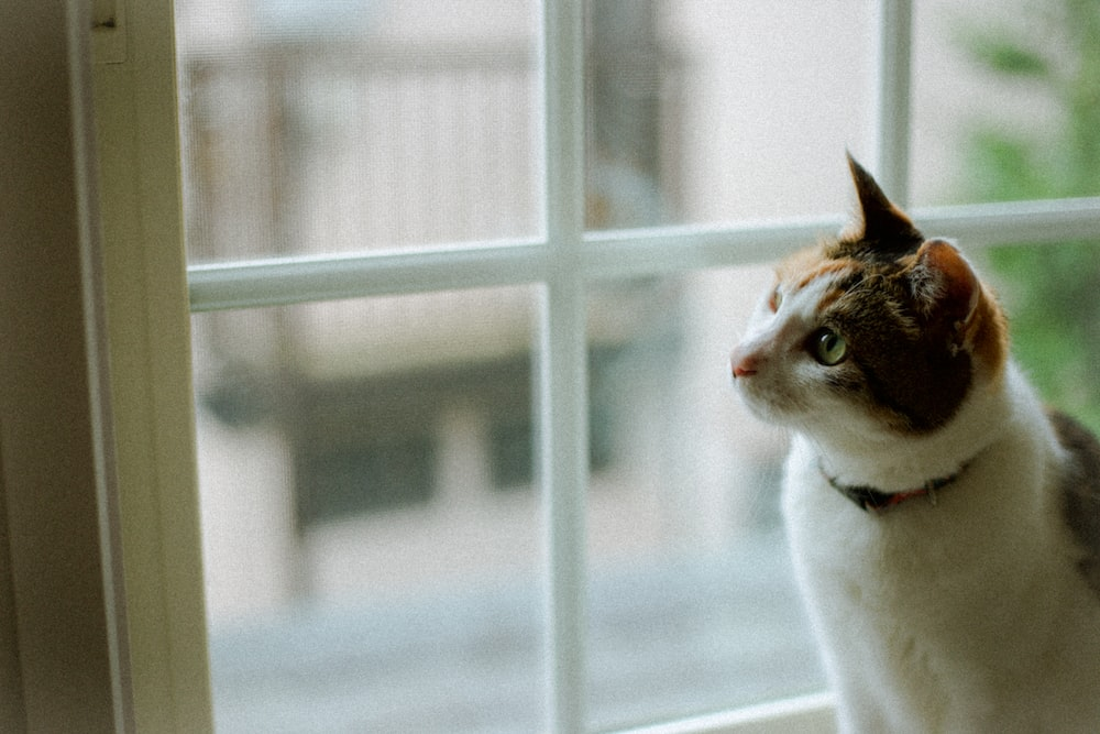 white and brown cat looking out the window