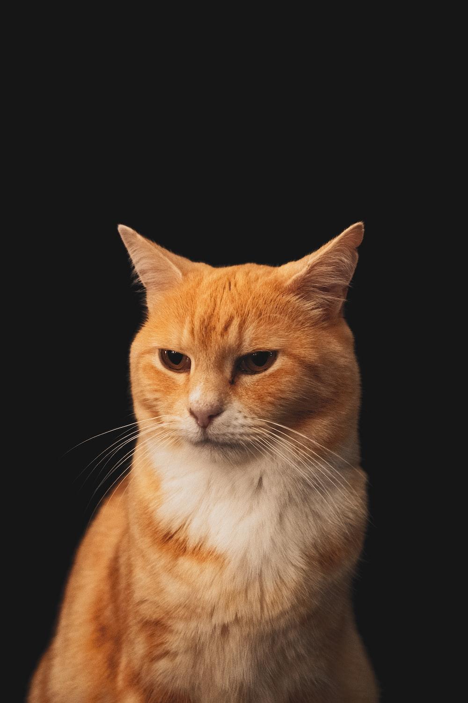 orange tabby cat with black background