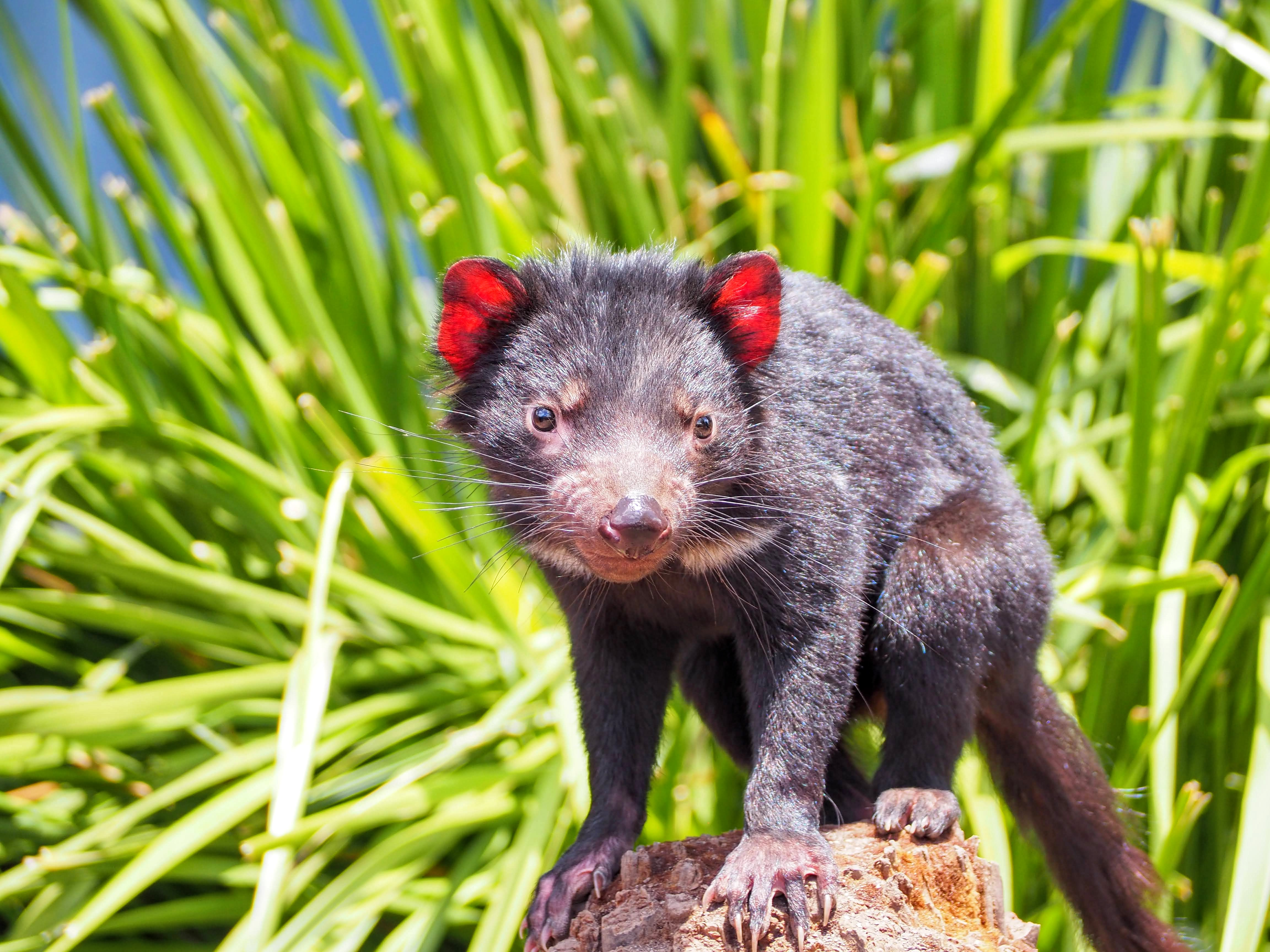 Tasmanian Devils Born on Australian Mainland for First Time in 3,000 Years