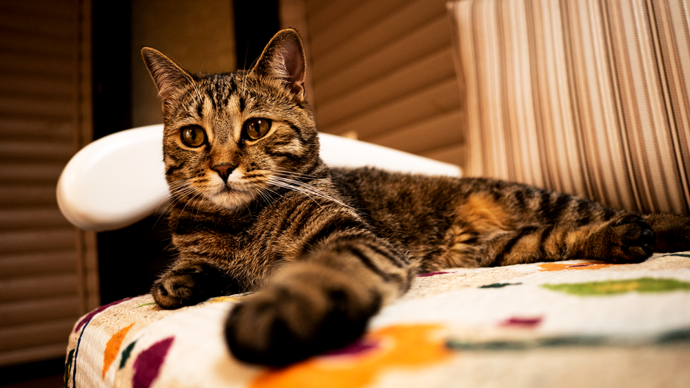 brown tabby cat lying on bed