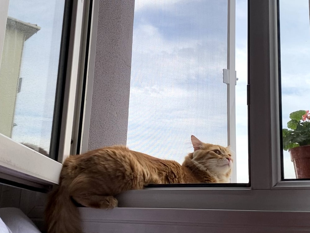 orange tabby cat lying on window