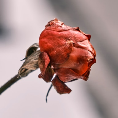 red rose in bloom in close up photography