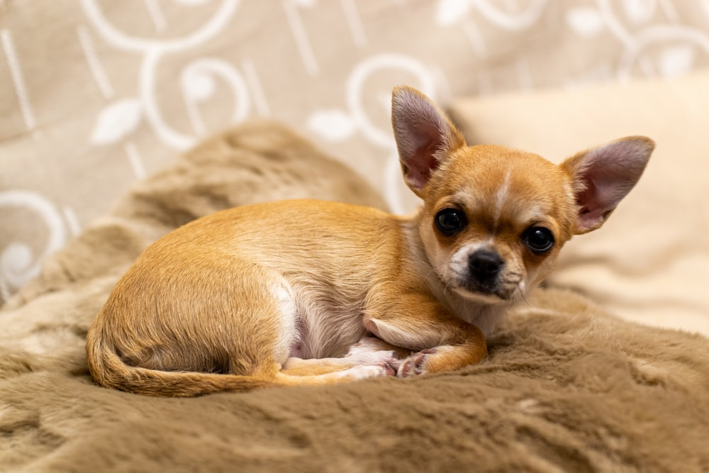 brown chihuahua puppy on brown textile