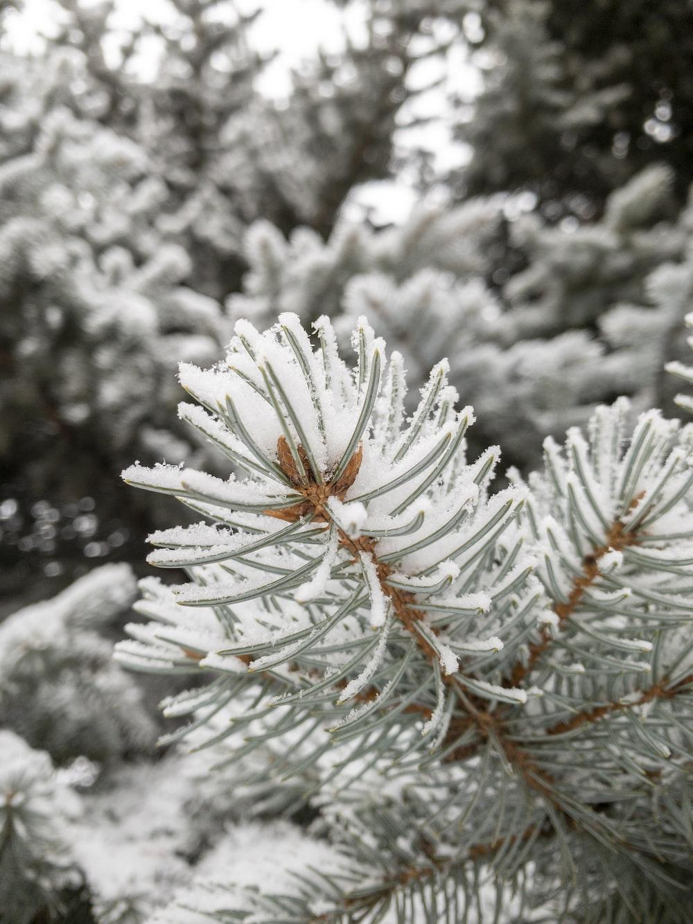 white snow on green pine tree