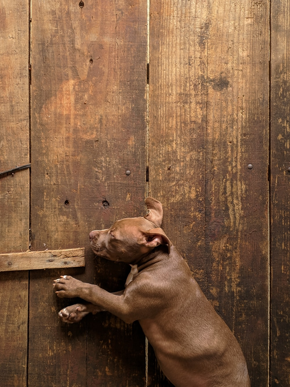 brown short coated dog lying on brown wooden floor