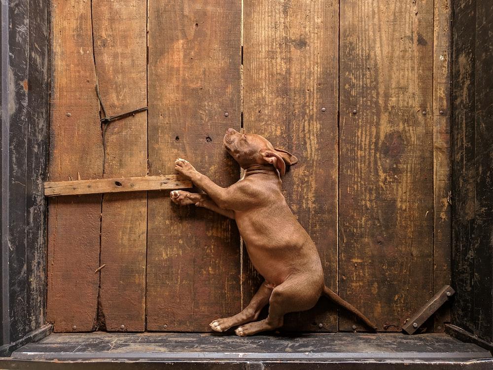 brown short coated dog lying on wooden floor