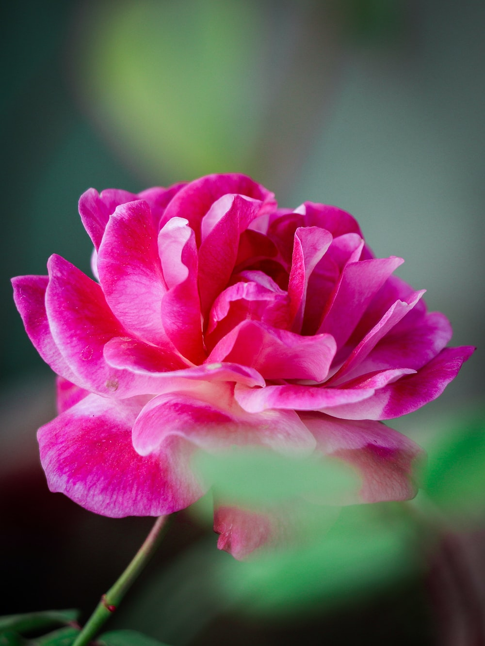 pink flower in tilt shift lens