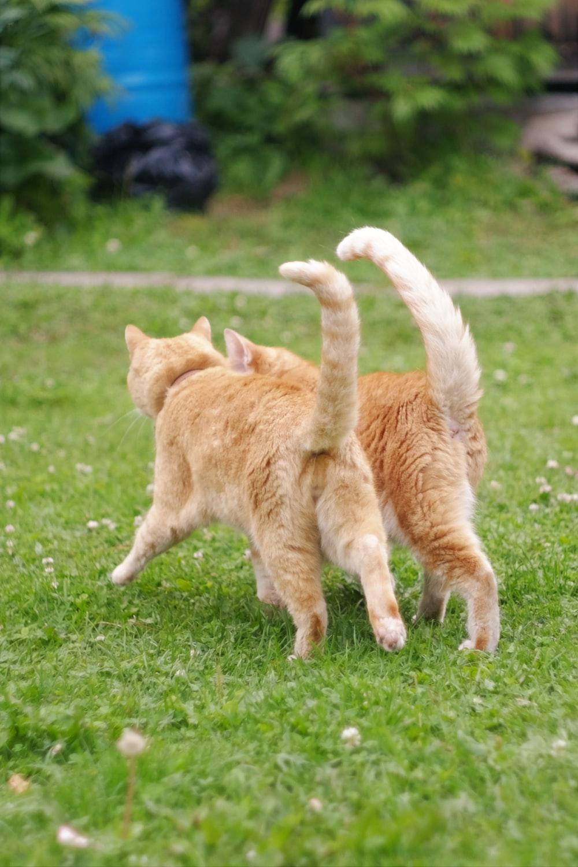 orange tabby cat walking on green grass field during daytime