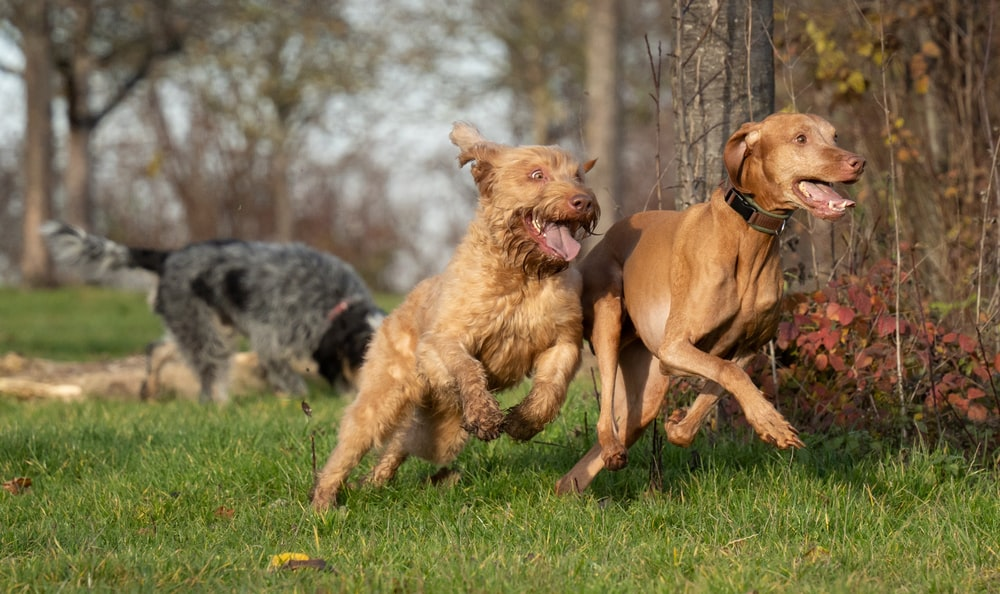 brown short coated medium sized dog running on green grass field during daytime