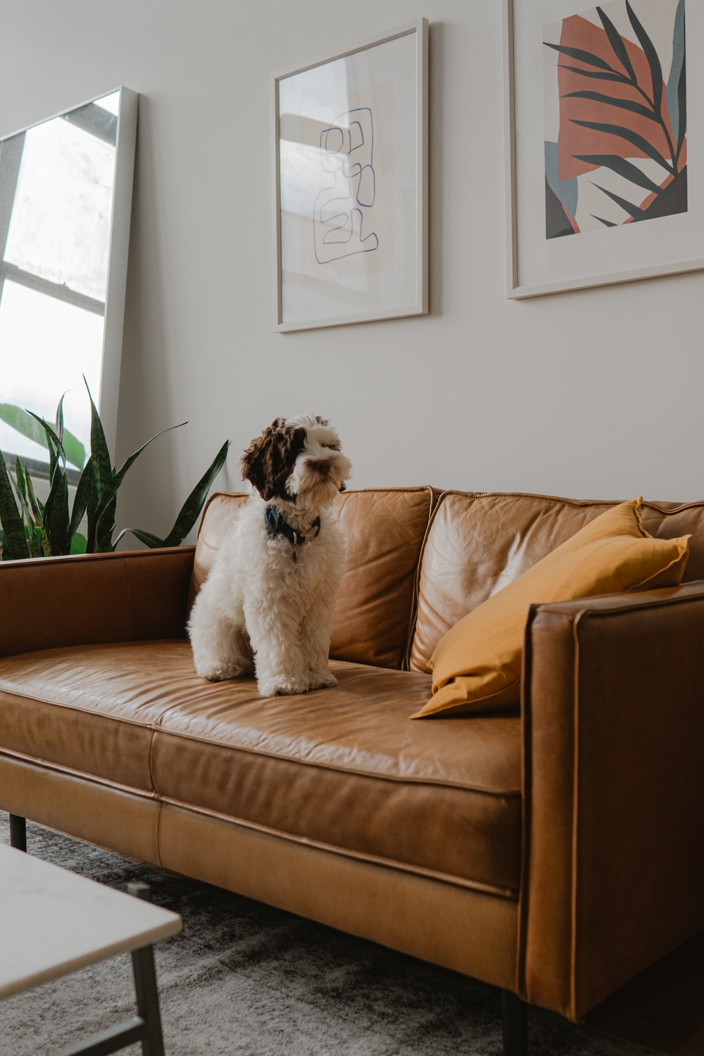 white and brown long coated dog on brown couch