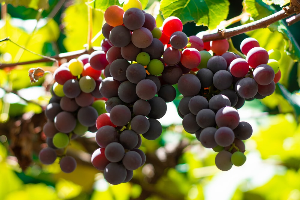 purple grapes in close up photography