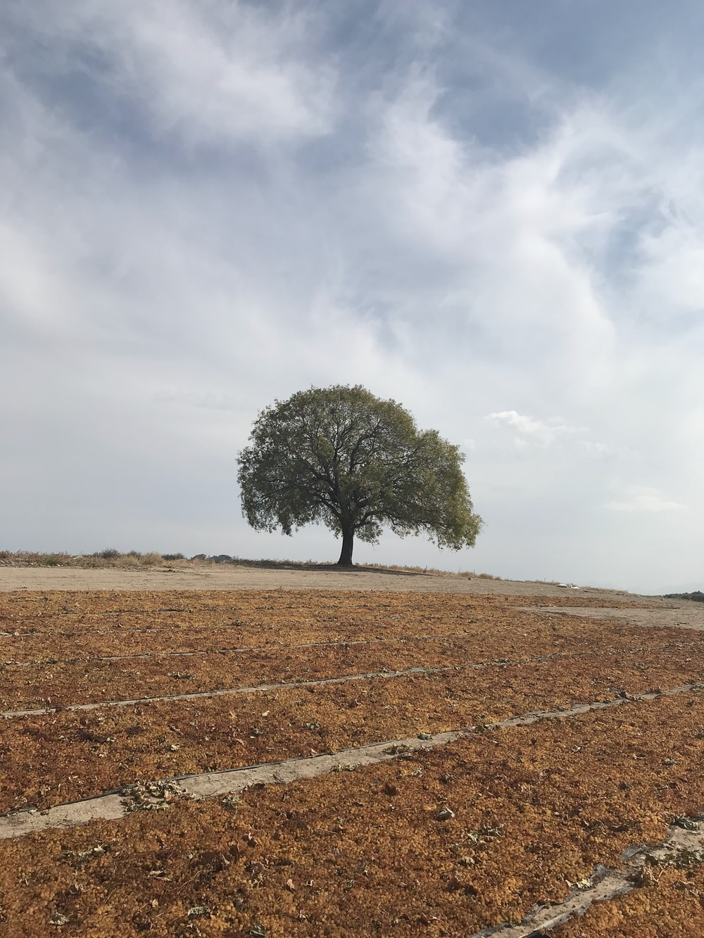 green tree on brown field under white clouds during daytime
