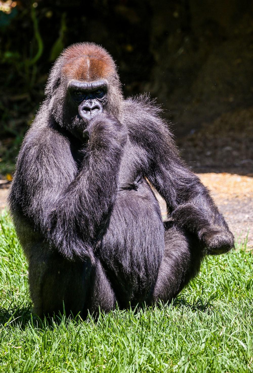 black gorilla sitting on ground during daytime